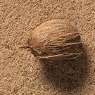 Kokosnuss auf latexierten Kokosfasern