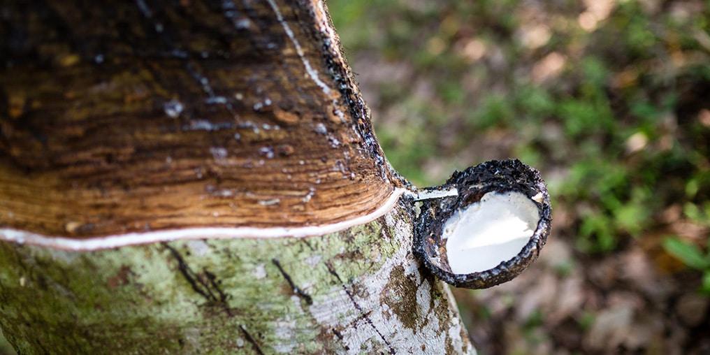 Naturlatex fließt aus einem Gummibaum in ein kleines Töpfchen