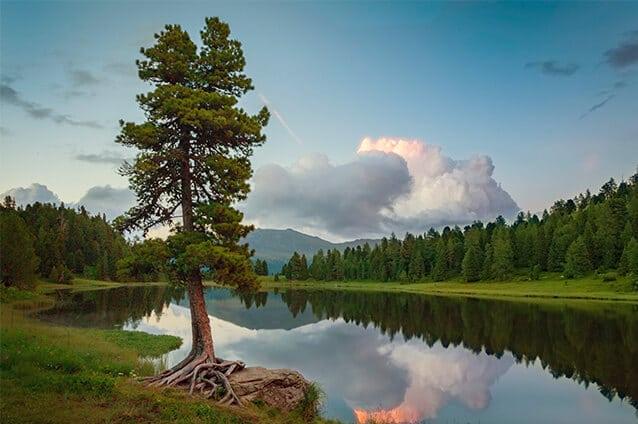 Zirbenbaum an einem See in den Alpen bei einem Sonnenuntergang