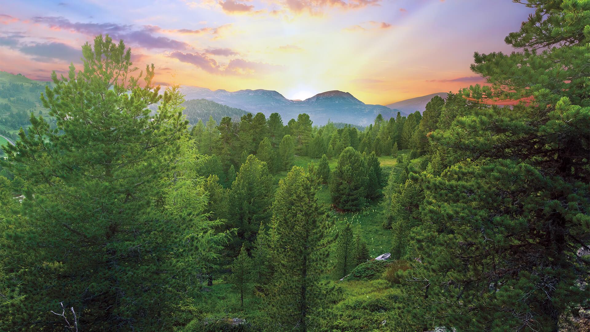 Zirbenkiefernwald bei Sonnenuntergang hinter den Bergen